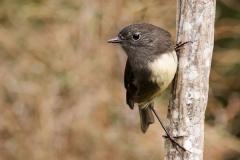 Petroica-australis-Orokonui