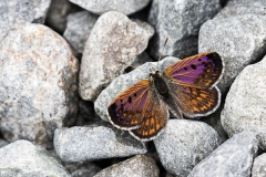 Boulder Copper Butterfly, Mesopotamia