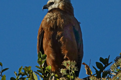 Al Beeby: Black-collared Hawk