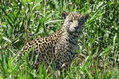Al Beeby: Jaguar