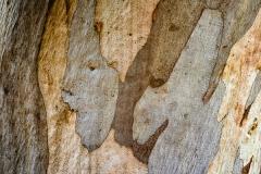 Bark of Eucalyptus camaldulensis