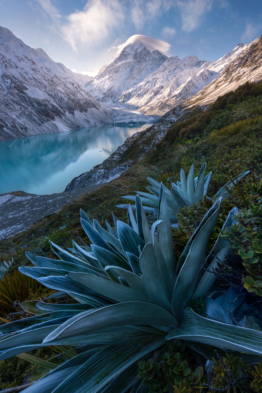 William Patino: Celmisias, Mt Cook