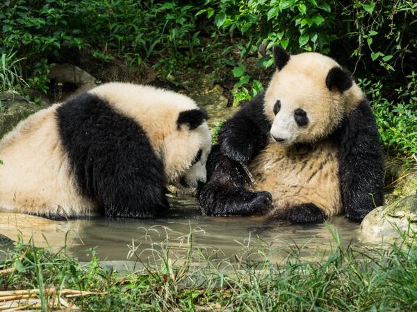 Meg Errington: Pandas