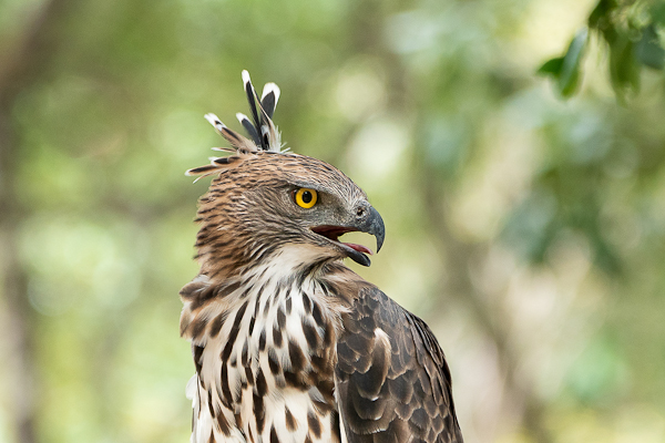 Carolyn Hope: Crested Hawk Eagle (Nisaetus cirrhatus ceylonensis)