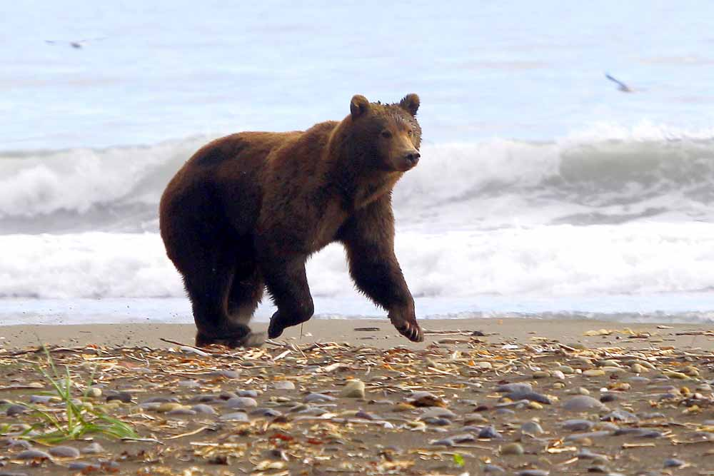 Brown Bear: Olga Bay