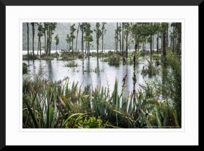 Kahikatea trees in flooded Lake Wahapo in rain with Tui bird, Westland Tai Poutini National Park, West Coast, UNESCO World Heritage Area, South Island, New Zealand, NZ