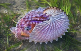 Paper Nautilus - Judy Stokes - Auckland Photographic Society