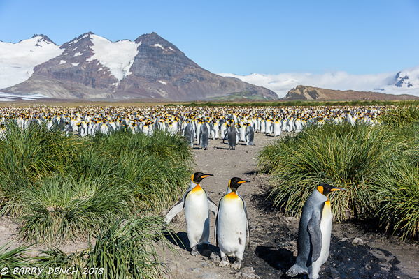 King penguin colony, Salsbury Plain. Estimated 60,000 pairs.
