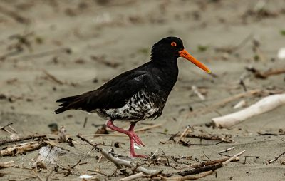 Carolyn Elcock: Variable Oyster Catcher