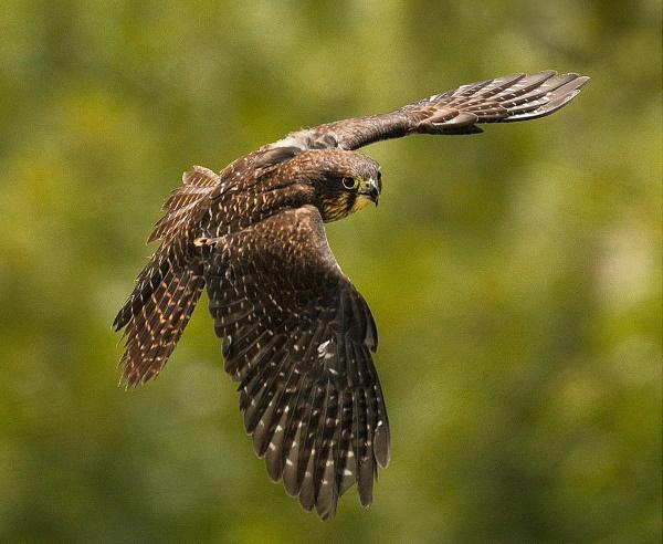 Jeanette Nee: NZ Falcon