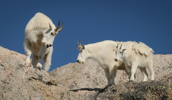 Pol Syrett: Mountain goats