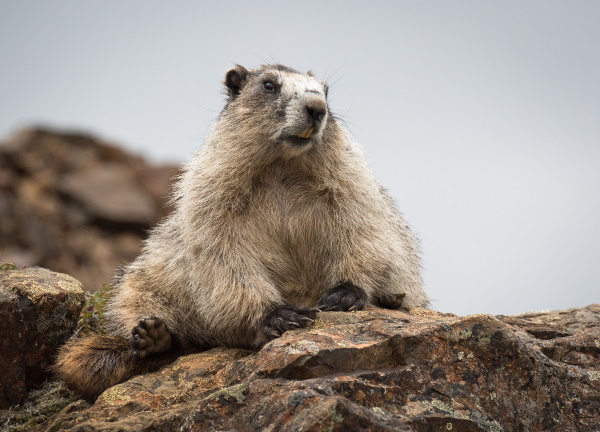 Pol Syrett: Hoary Marmot