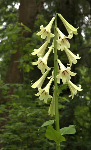 Himalayan Lilies