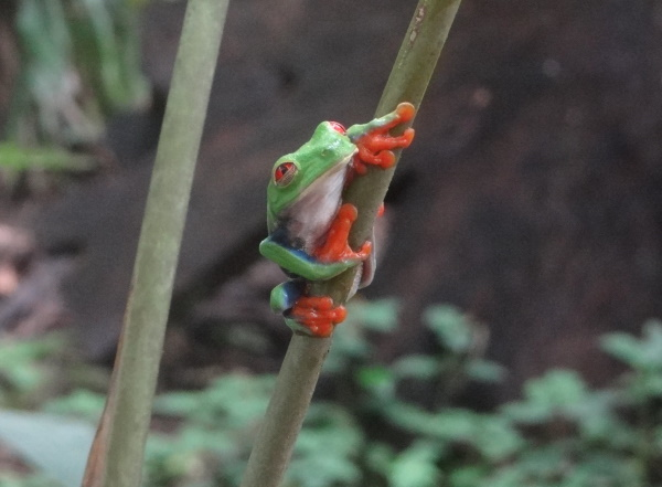 Richard Jones: Red-eyed tree frog