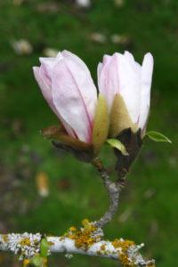 Elizabeth Burtt: Pale Magnolia