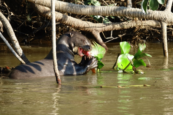 Al Beeby: River otter