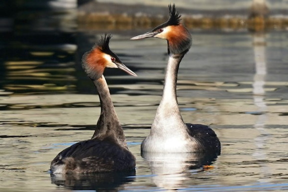 Peter Hockley: Crested Grebes