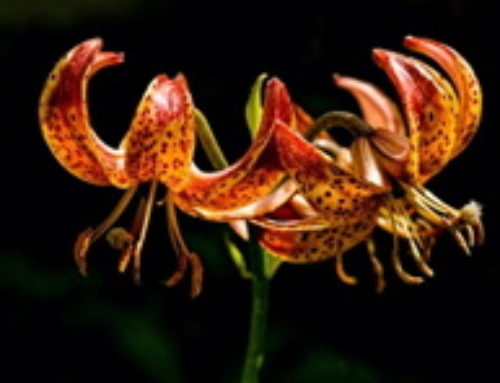Propagating Exotic Lillies – 13 December & 10 January