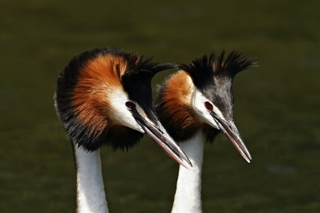 Peter Hockley: Grebes
