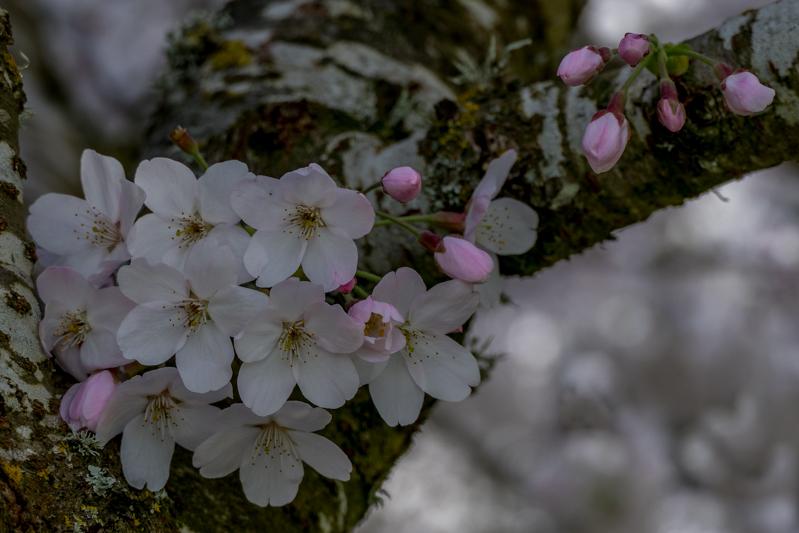 Caro: Blossom
