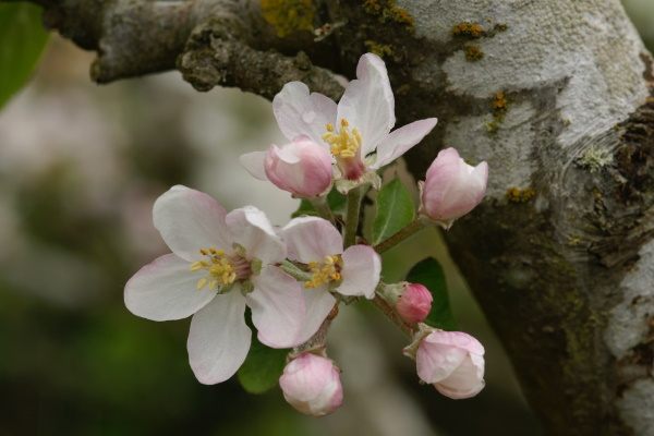 Lesley Tuffley: Apple Blossom